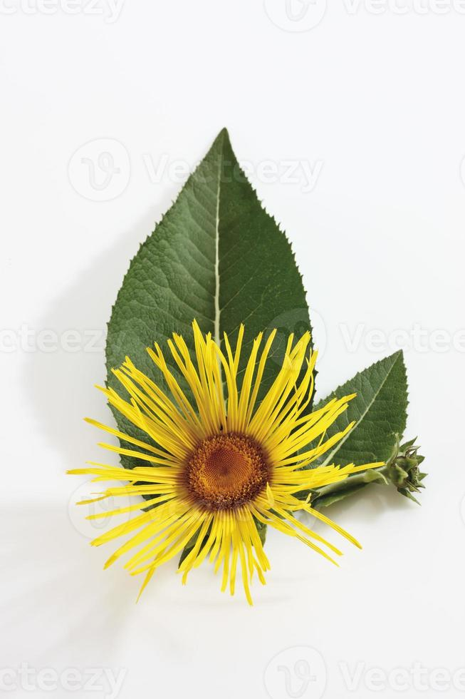 Inula (Inula) flower with leaves photo