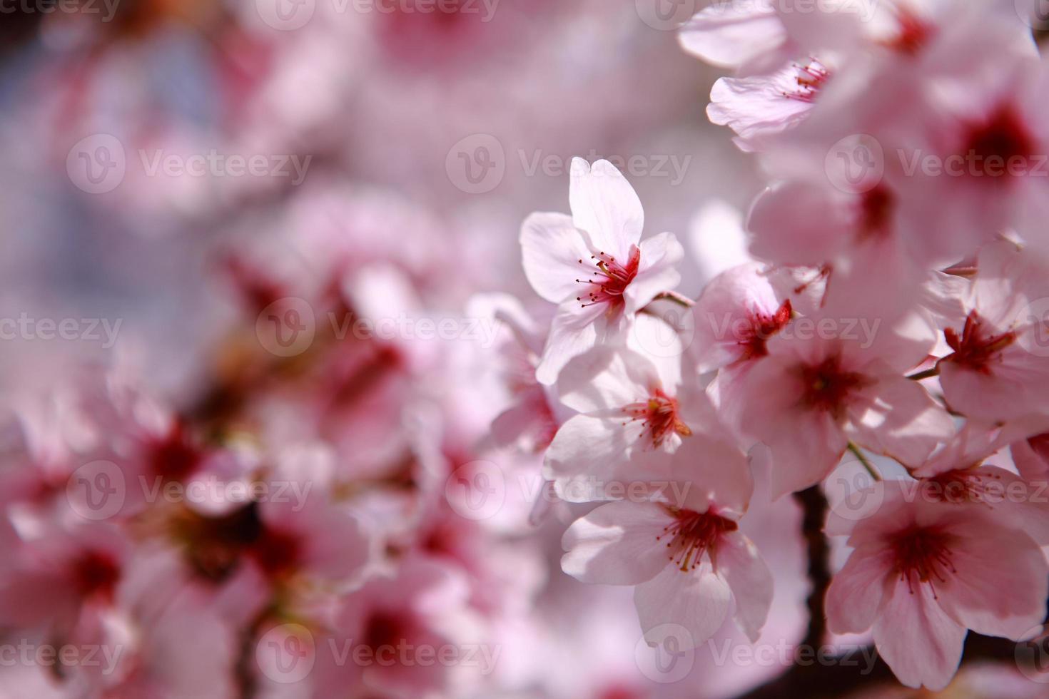 Beautiful pink cherry blossom shot in japan photo