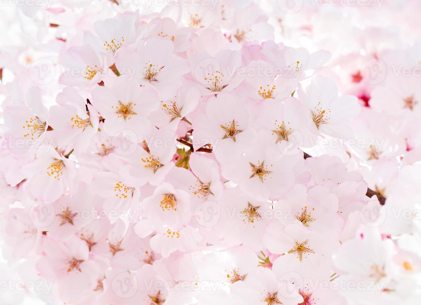 flor de almendro foto