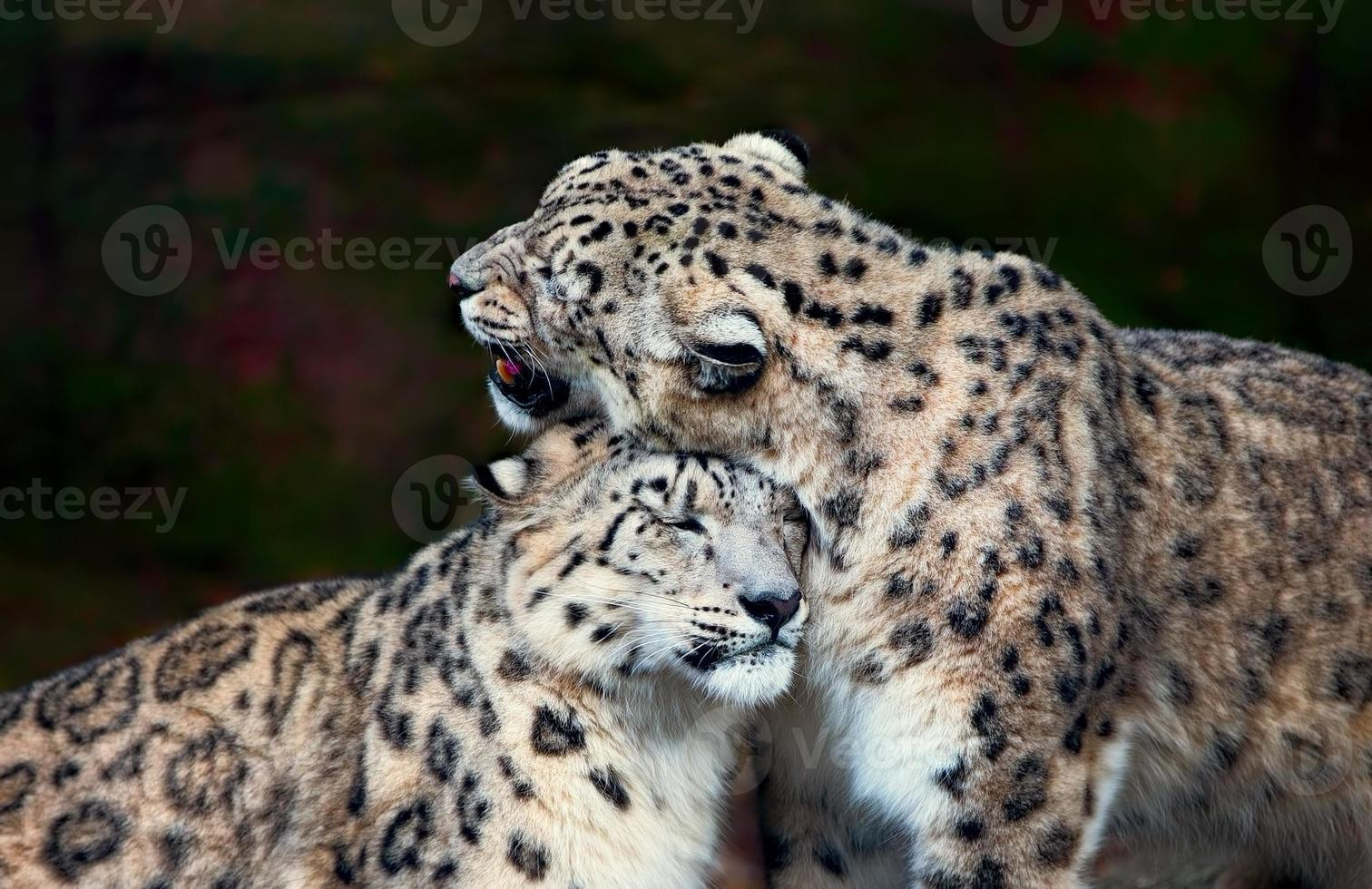 Snow Leopards photo