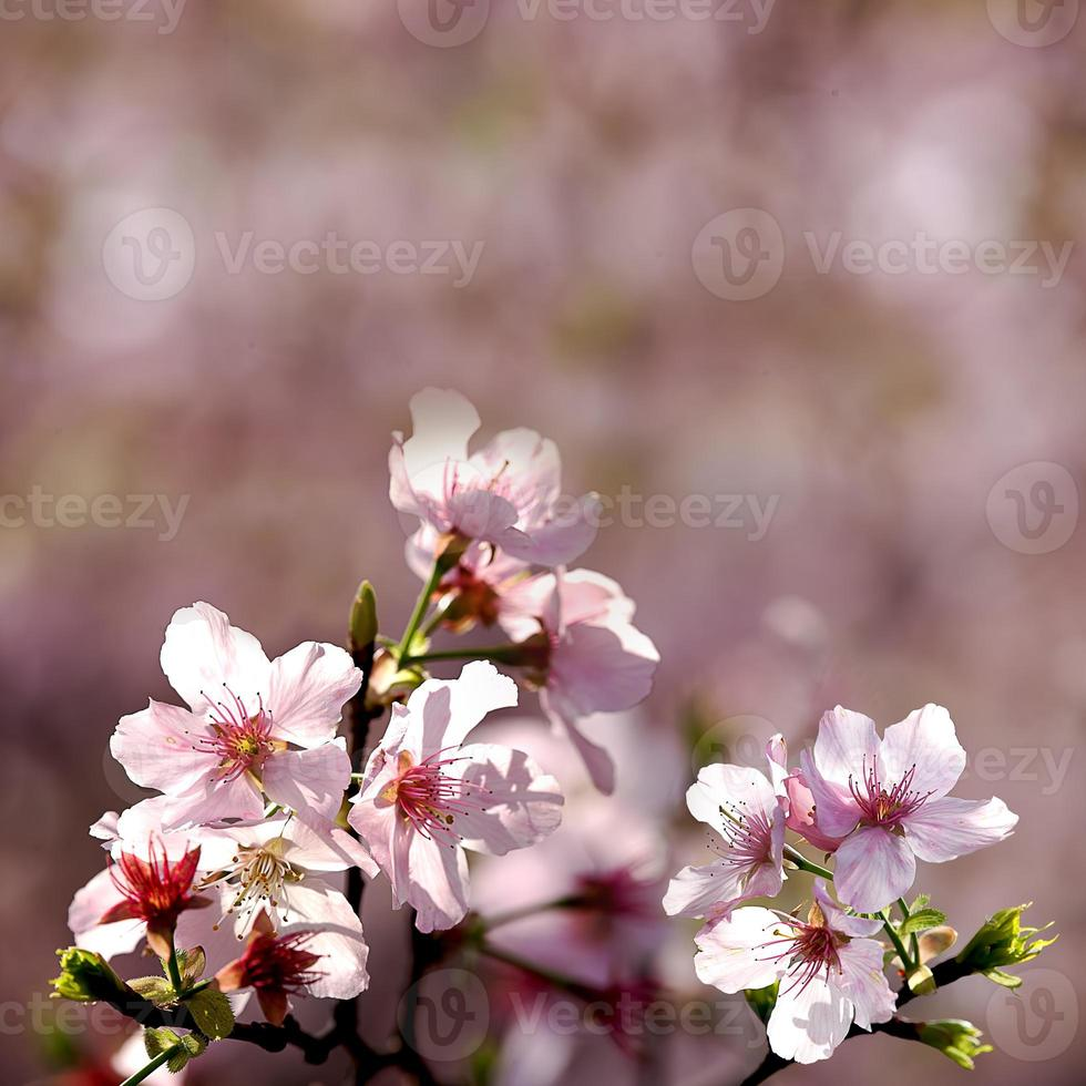 Cherry blossoms, Wuling Farm, Taiwan photo
