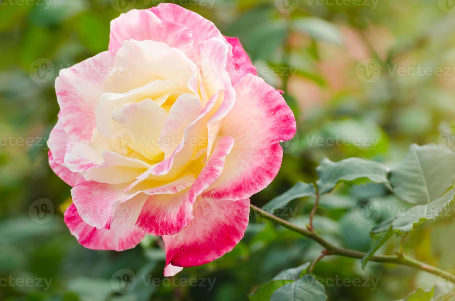 beautiful pink rose in a garden photo