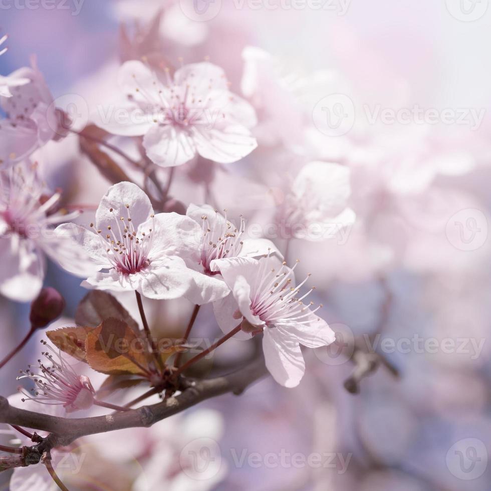 rama de cerezo en flor foto
