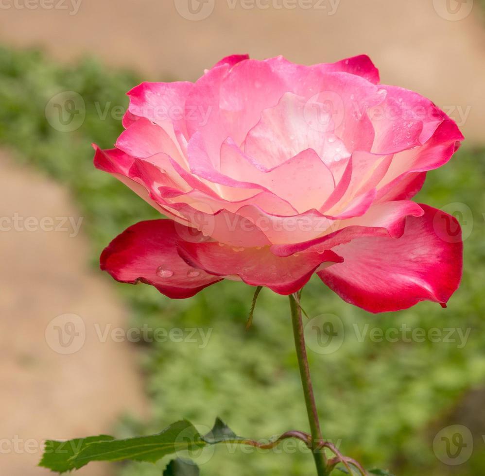 pink rose in a garden photo
