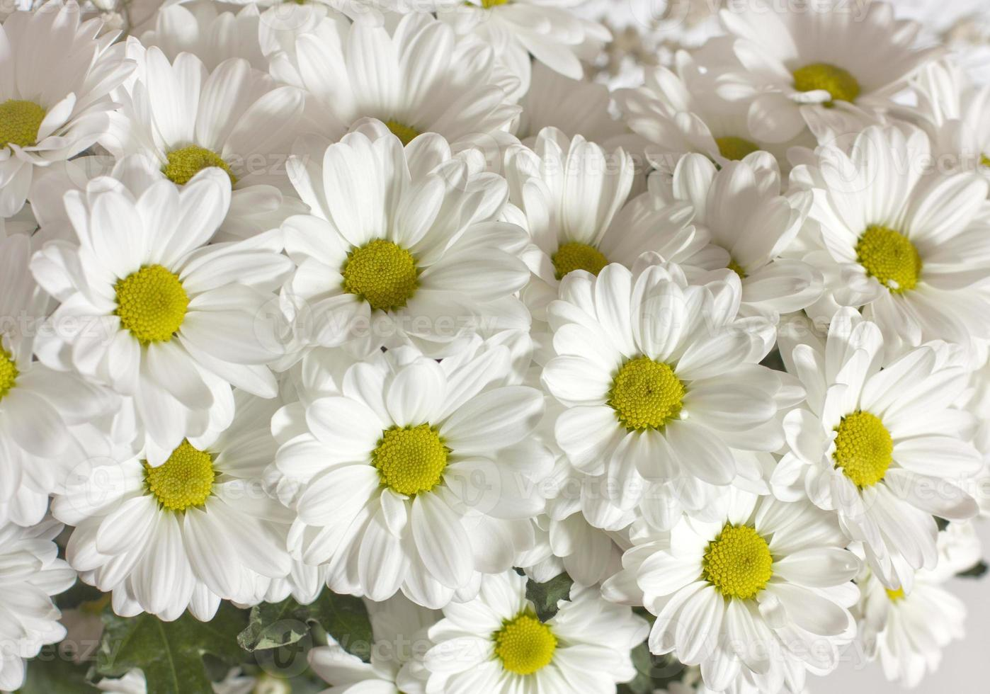 Photo background of white daisies