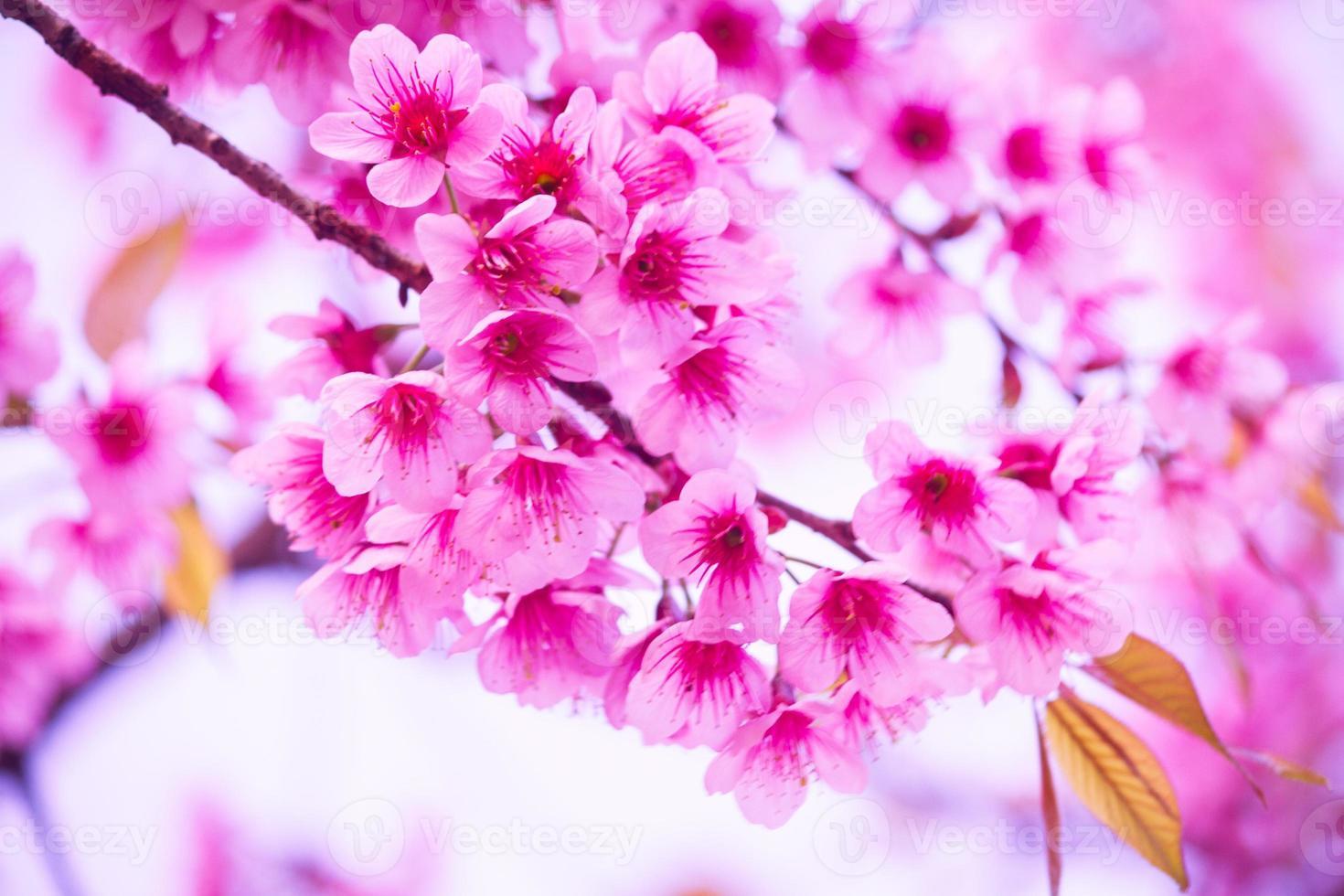 flores de sakura en flor. hermosa flor de cerezo rosa foto