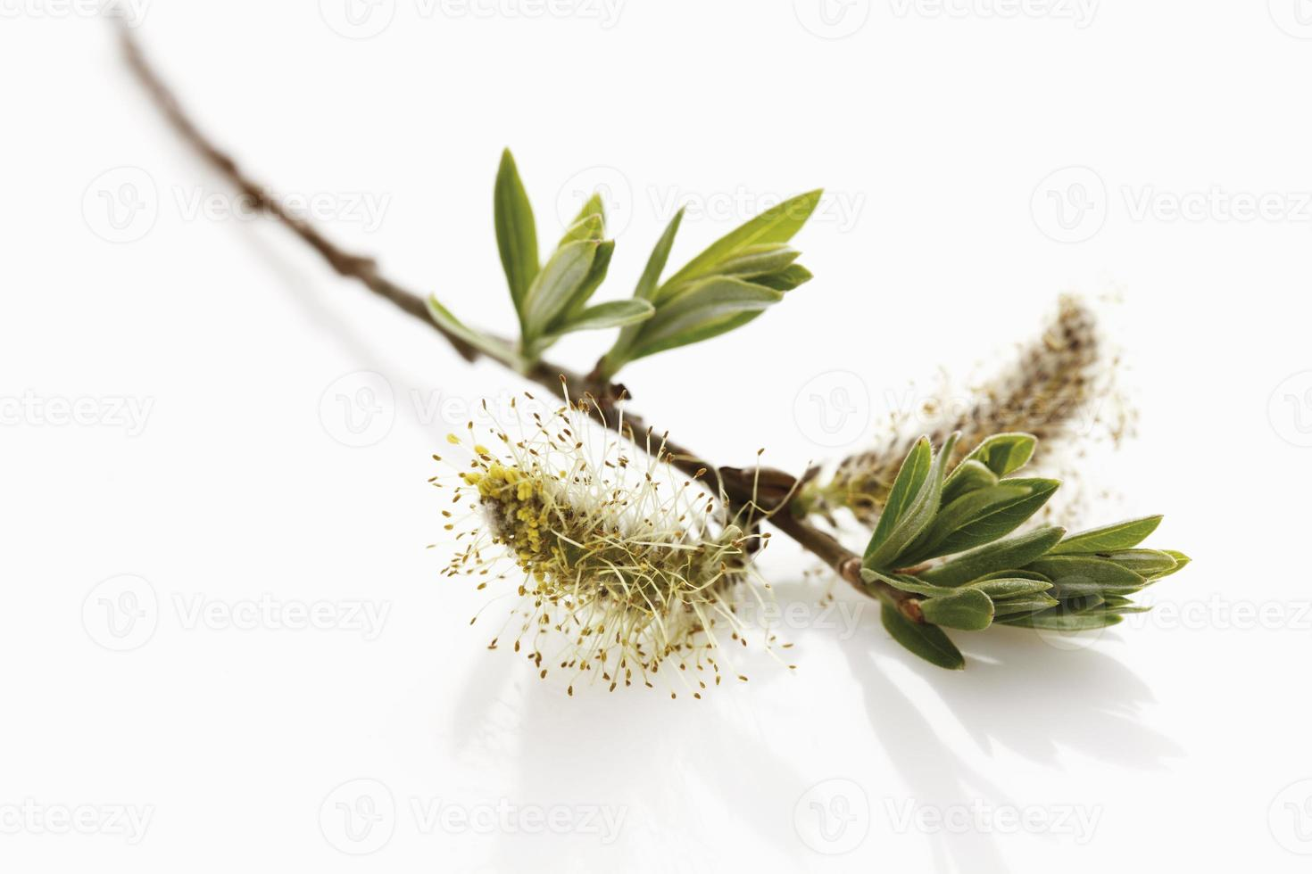 Twig of willow catkins photo