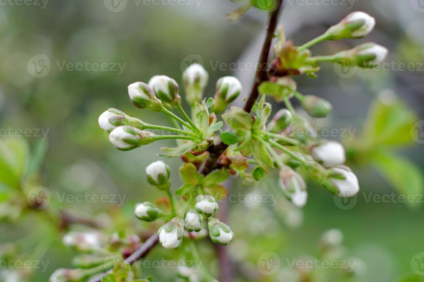 flor de cerezo blanco foto