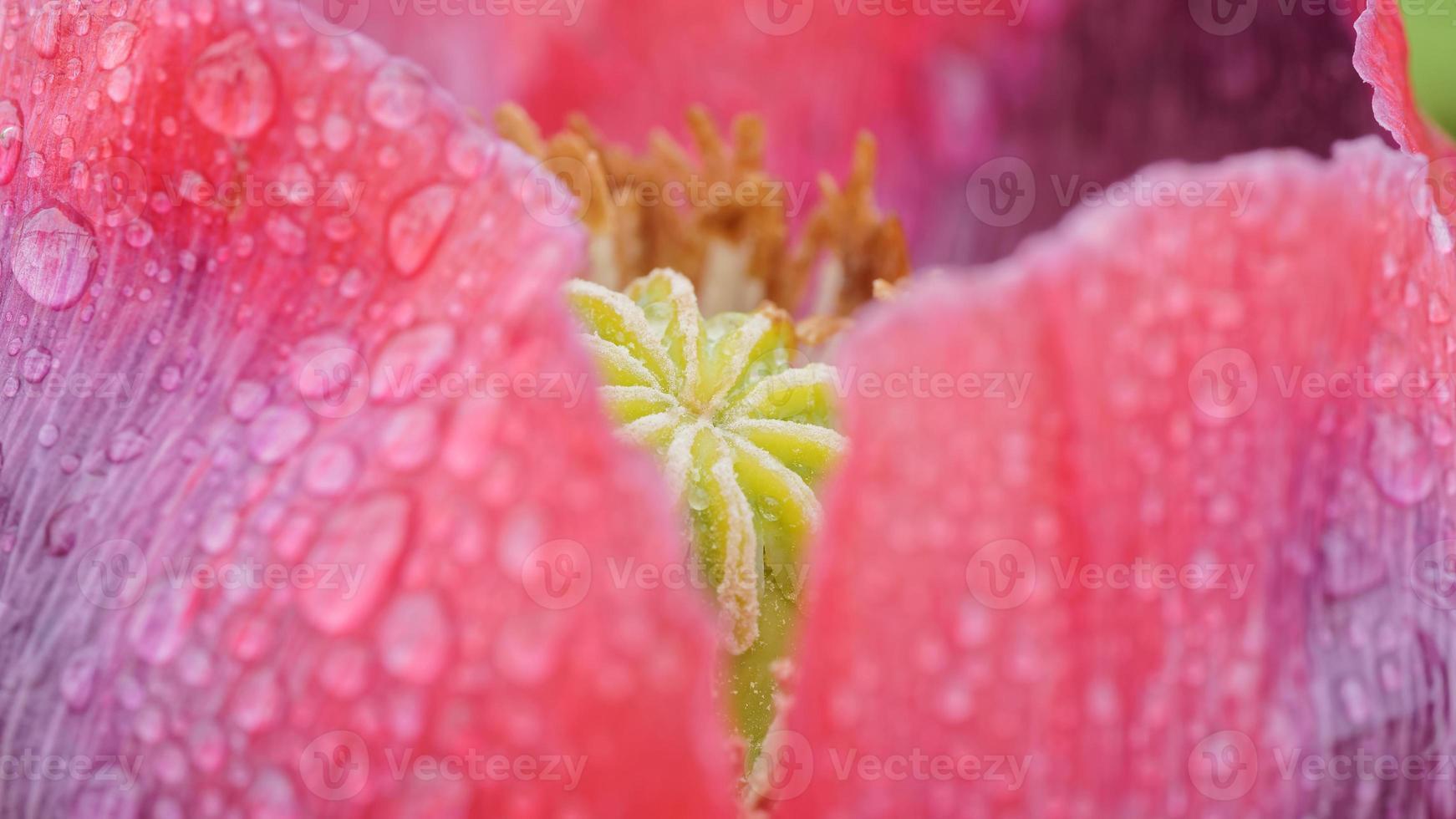 The fruit of red poppy flower photo