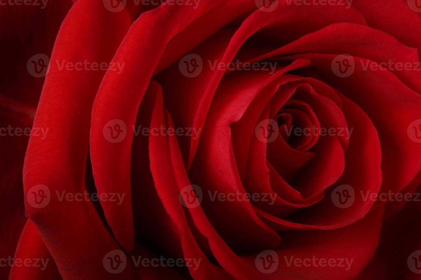 Beautiful romantic red rose photo