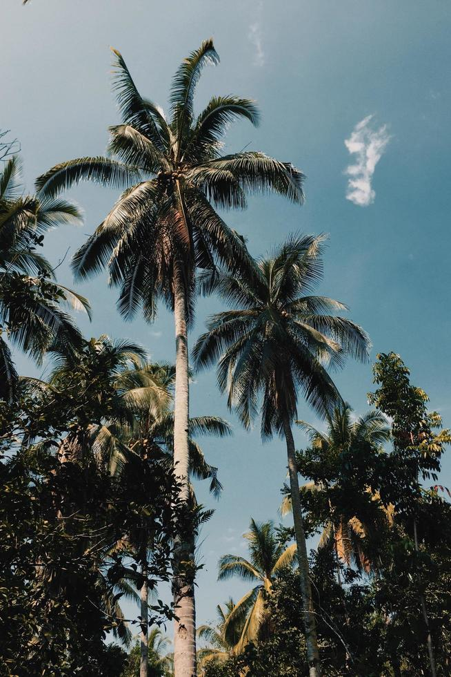 Coconut trees in the sun photo