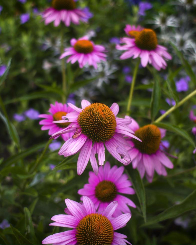 primer plano, de, púrpura, coneflowers foto