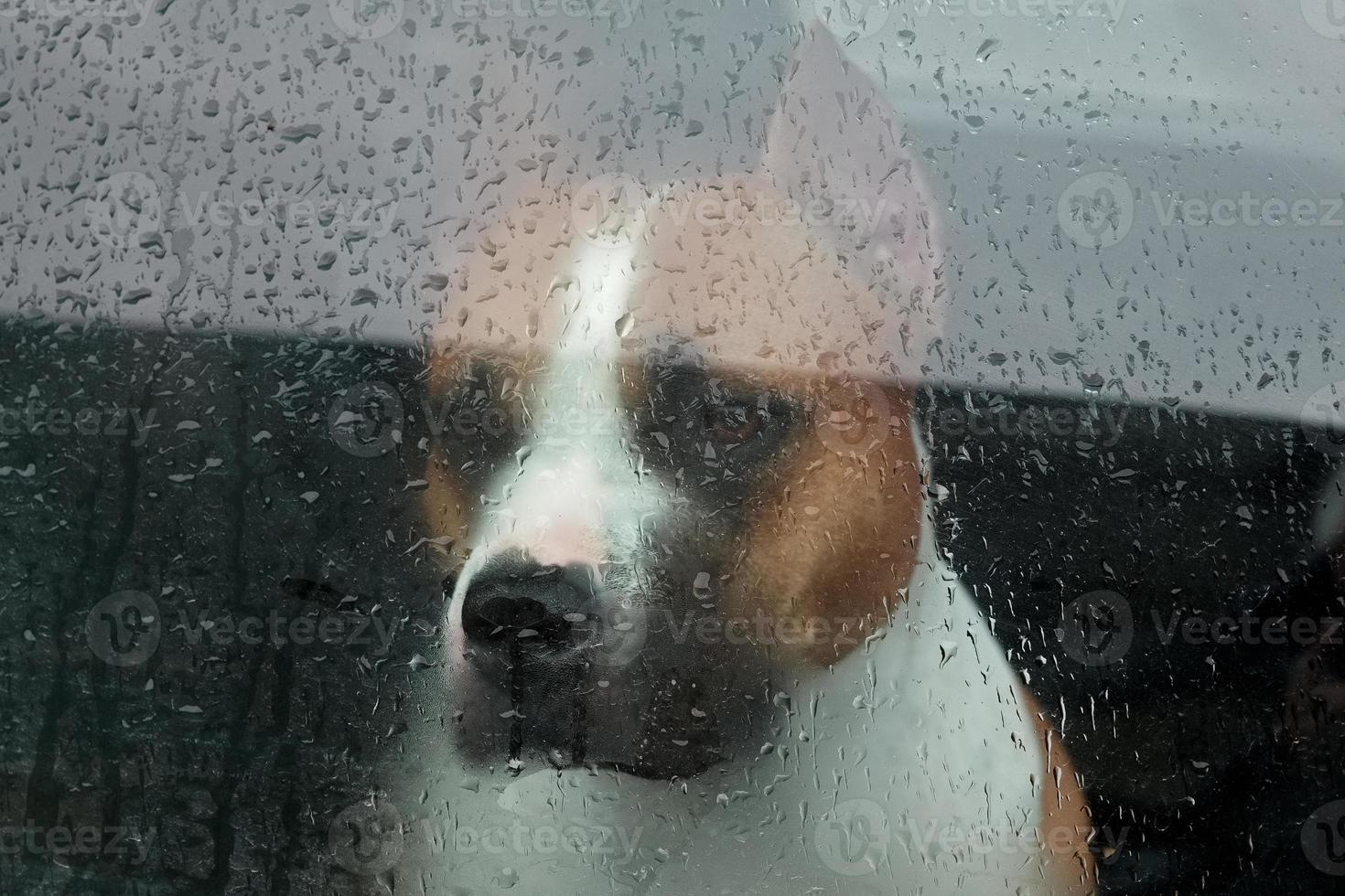 perro sentado en un coche y mirando a través del cristal foto