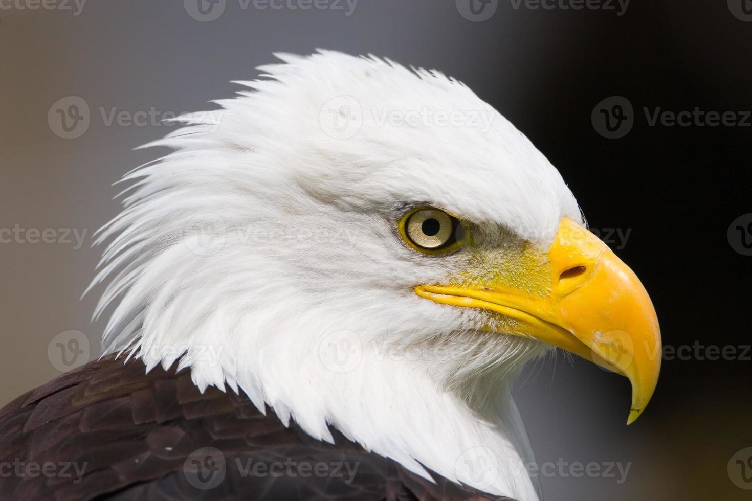 Proud Eagle photo