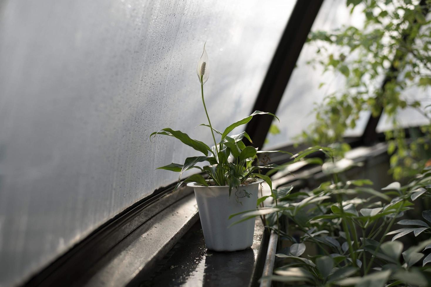 Lirio de la paz blanco en maceta en invernadero foto