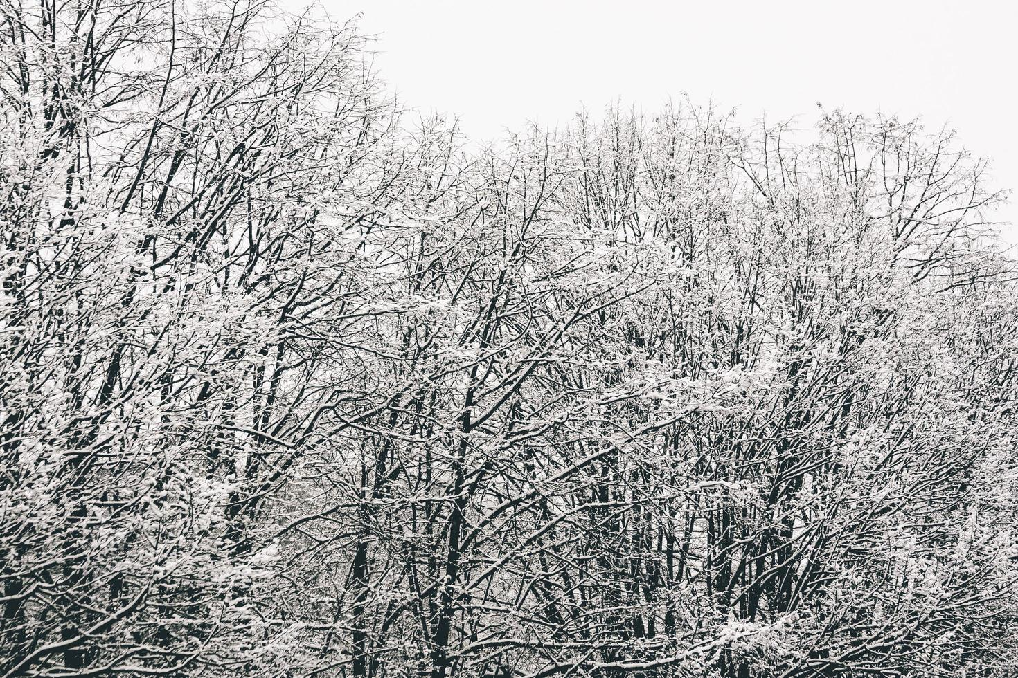 Bare trees covered with snow photo