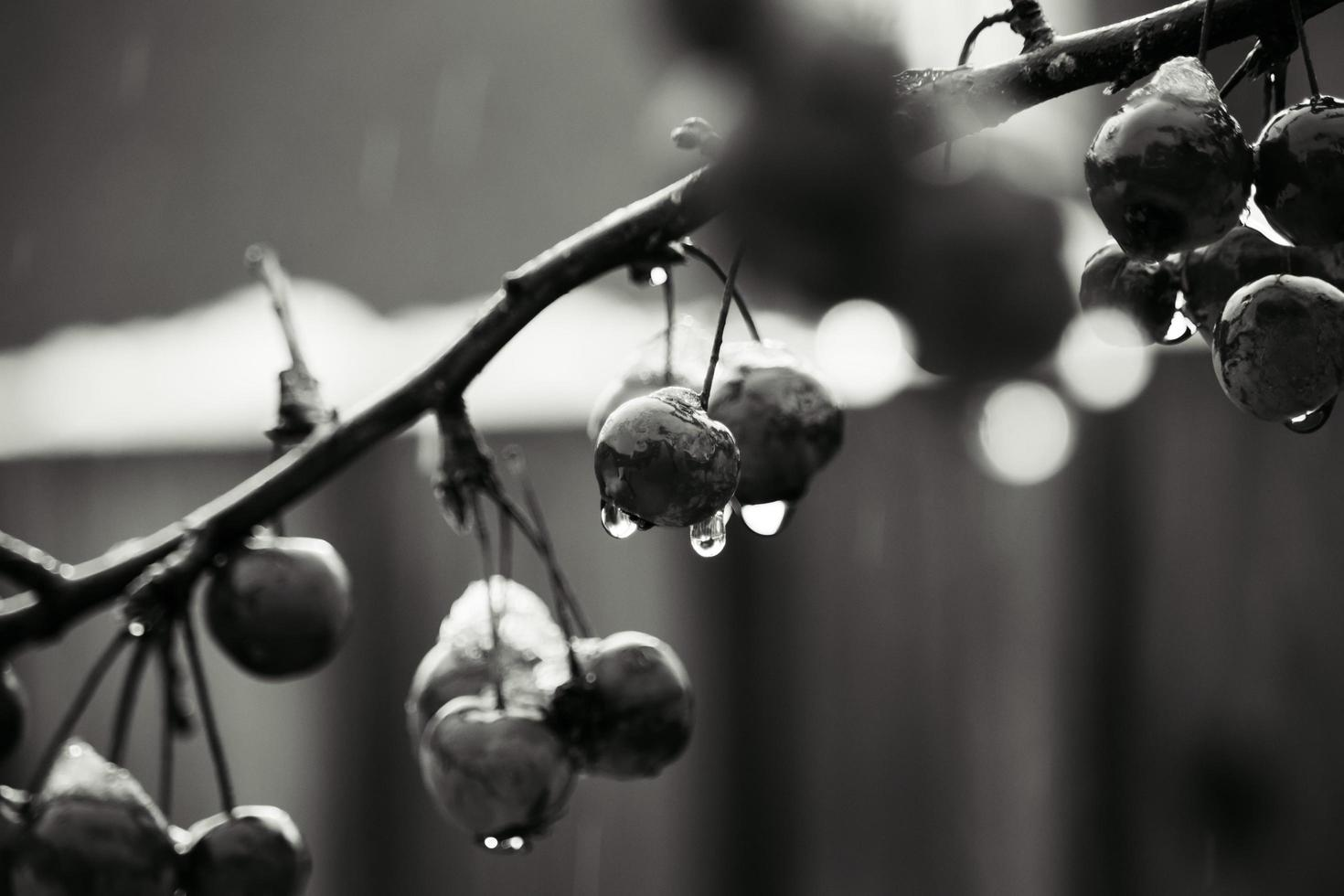 Grayscale photo of wild berries