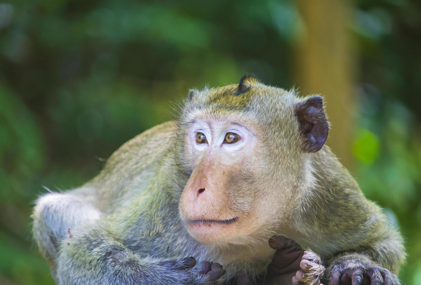 Macaque monkey in forest photo