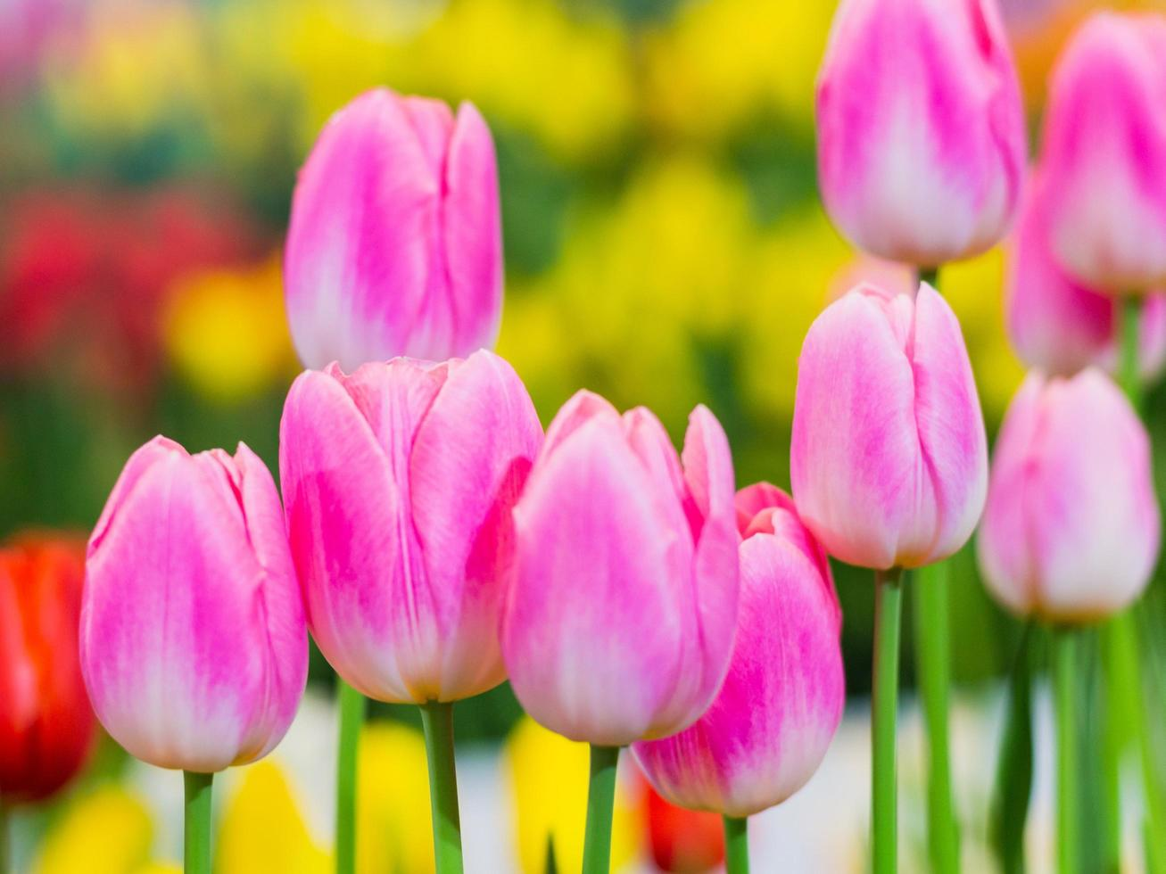Pink tulips in bloom photo
