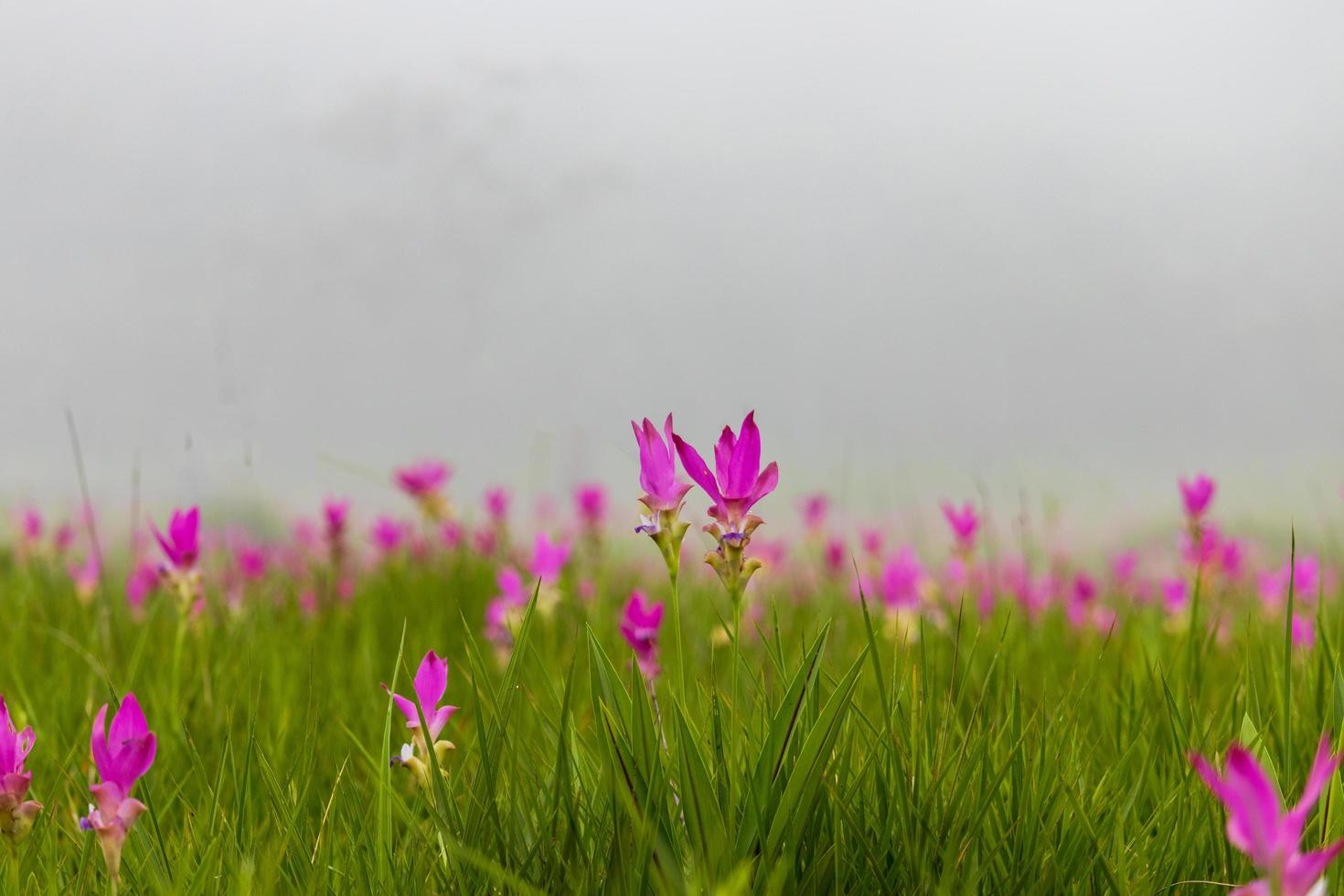 Pink siam tulips blooming in a field photo