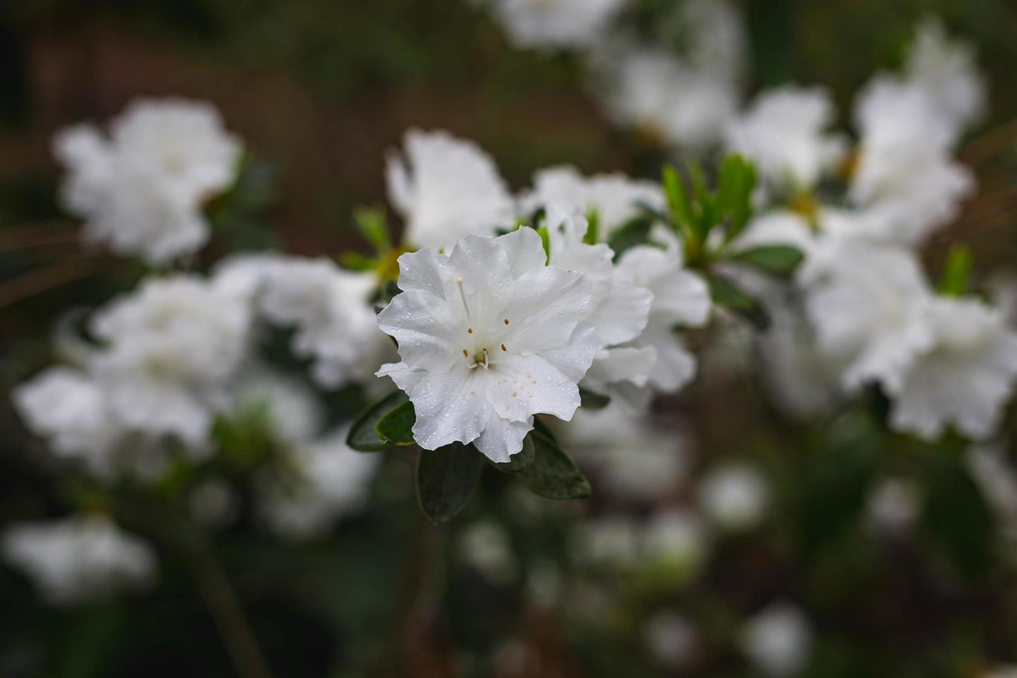 Nahaufnahme von weißen Blumen foto