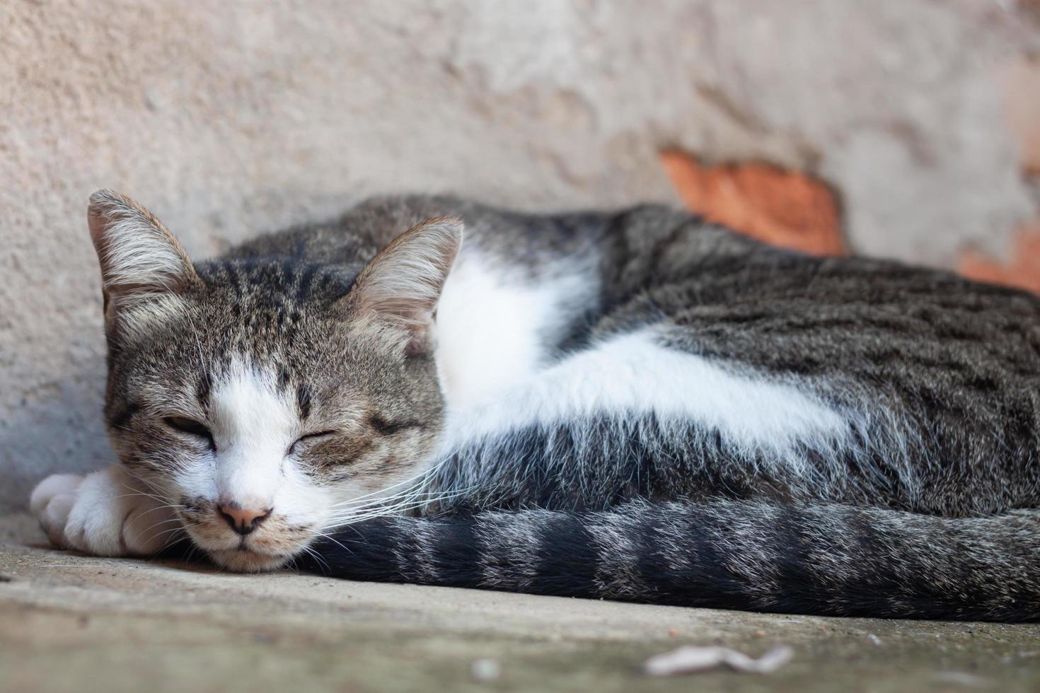 gato tailandés durmiendo foto