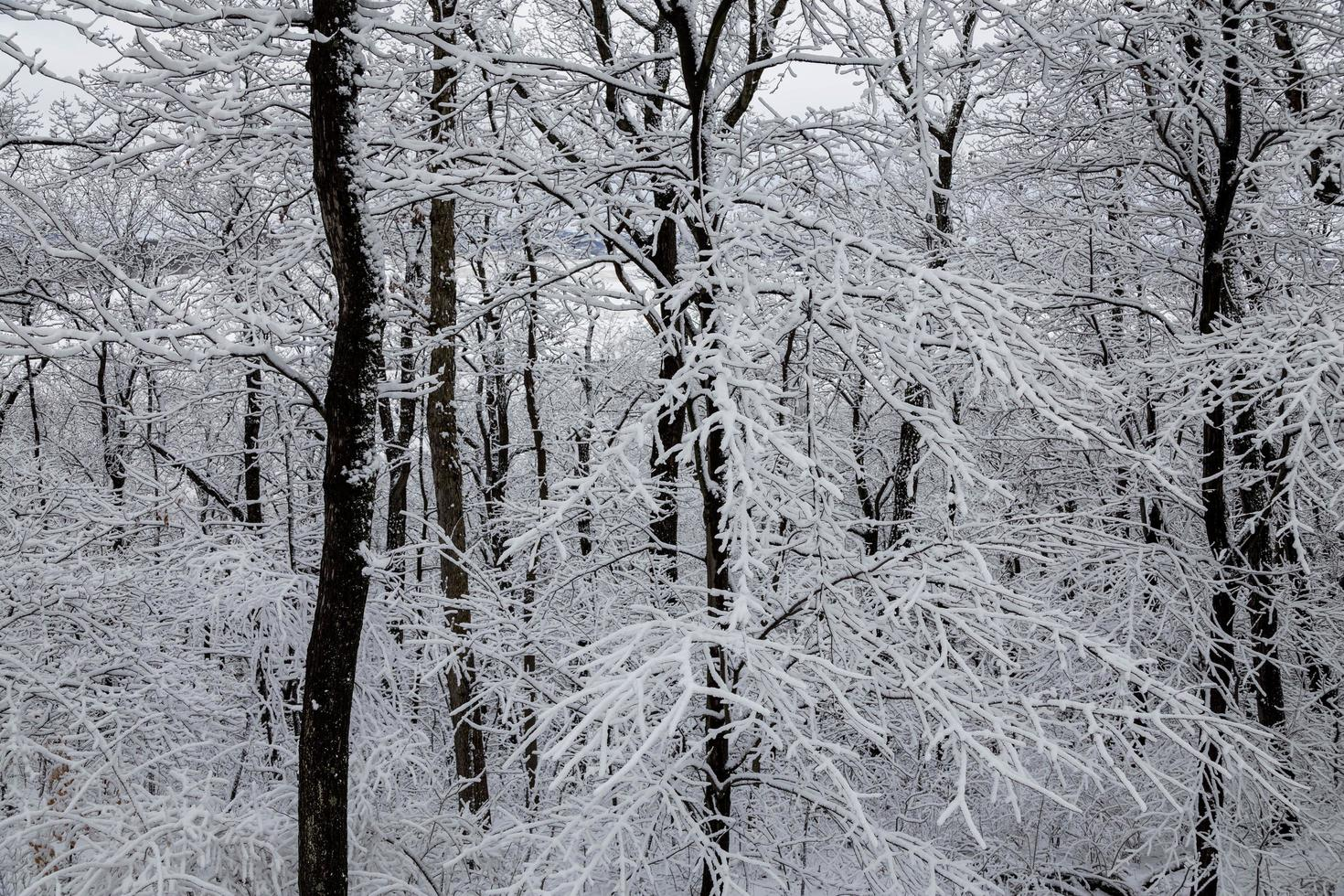 Snow and ice-covered trees photo