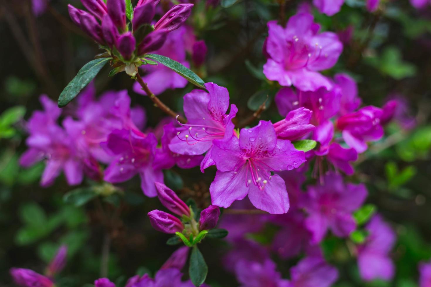 floreciendo flores moradas foto