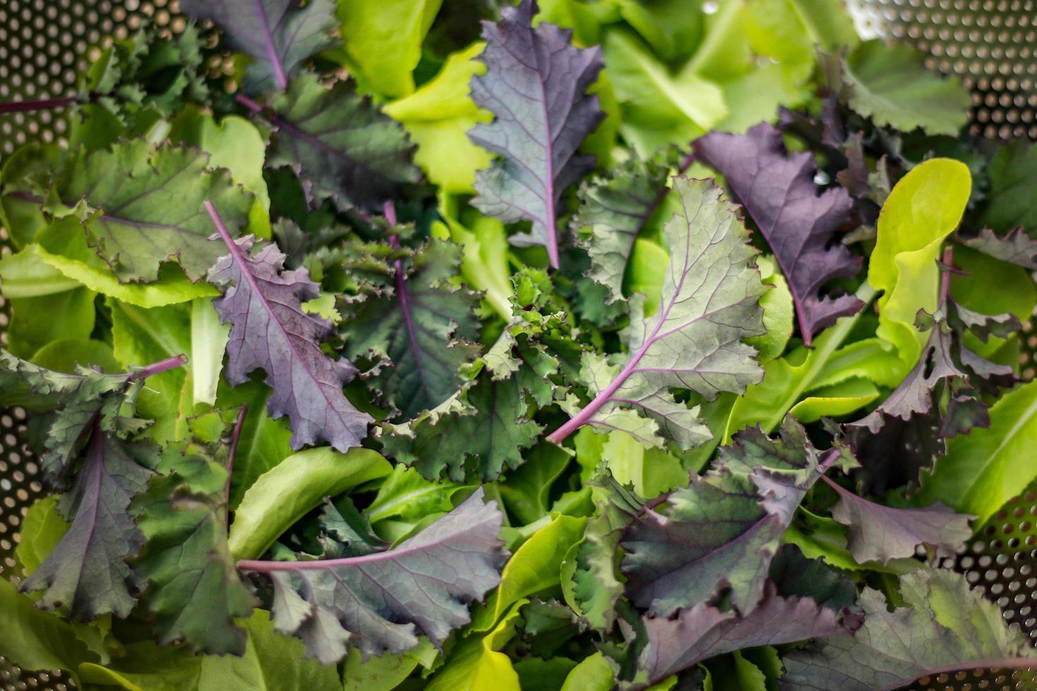 Fresh green lettuces photo