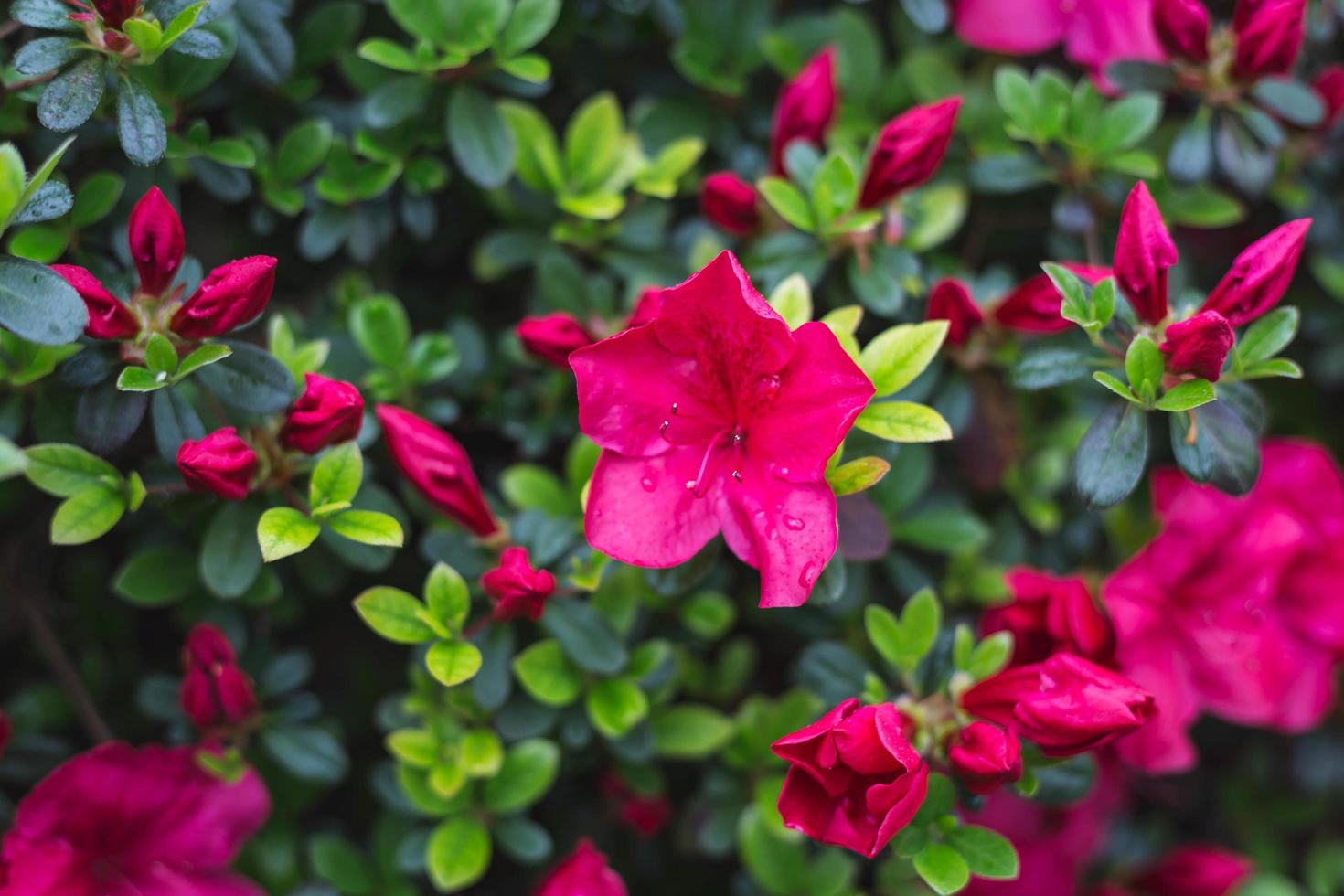 primer plano, de, un, flor roja, florecer foto