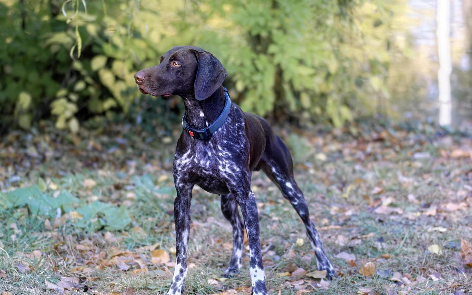 cachorro de casaco curto na grama foto