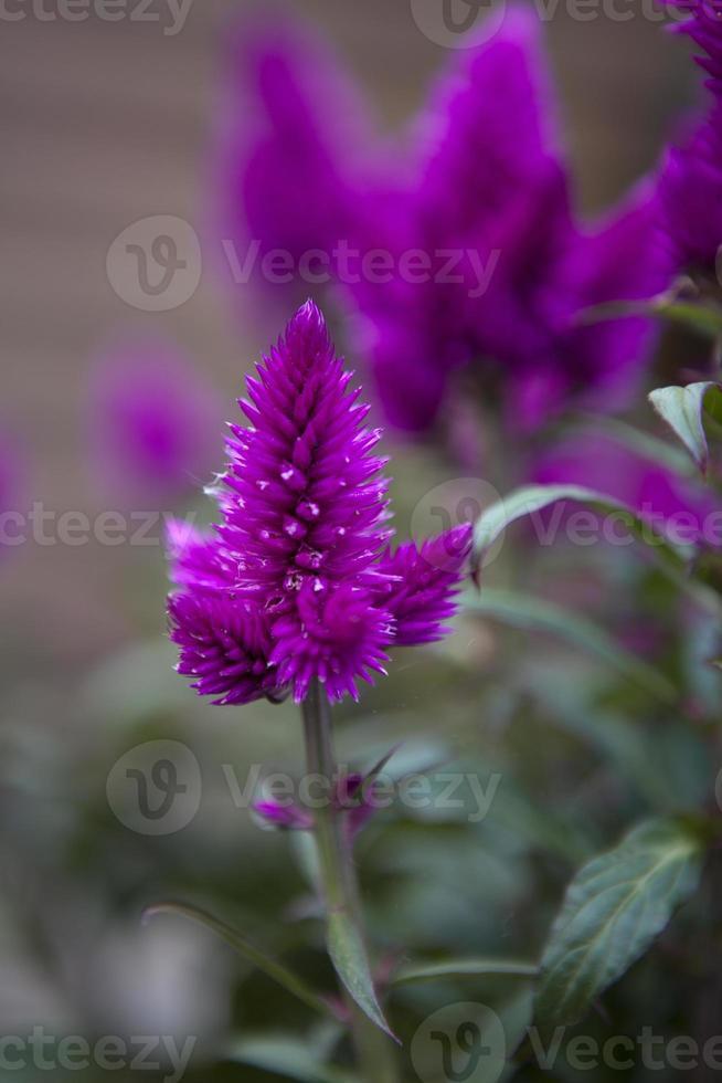 Celosia argentea, Hahnenkamm, Silber-BrandschopfCelosia argentea, Hahnenkamm, Silber-Brandschopf photo