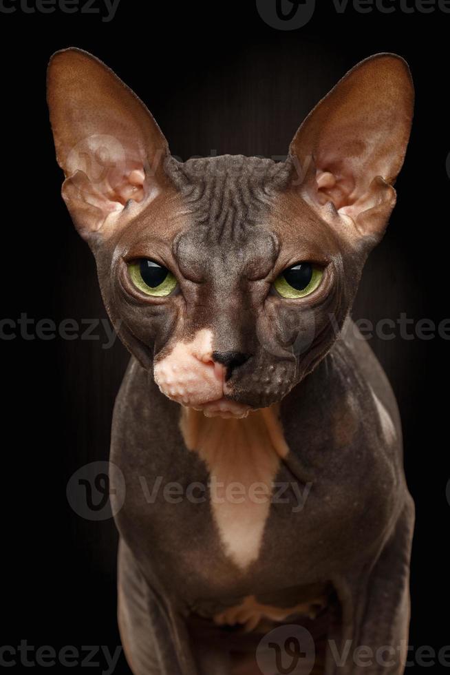Closeup Portrait of Grumpy Sphynx Cat Front view on Black photo
