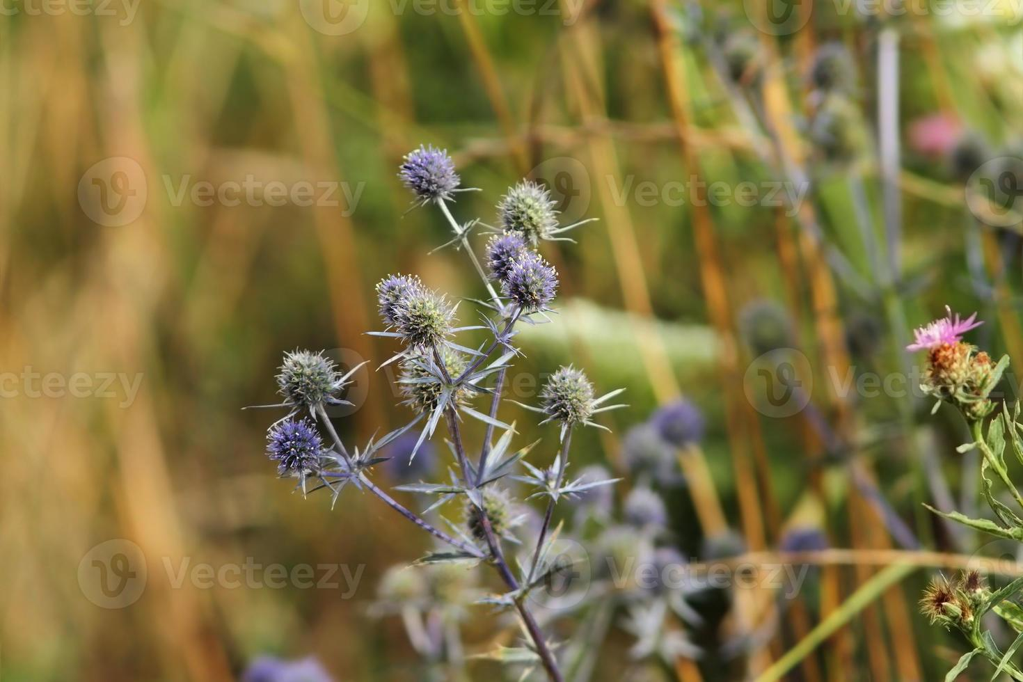 flat sea holly on a meadow photo