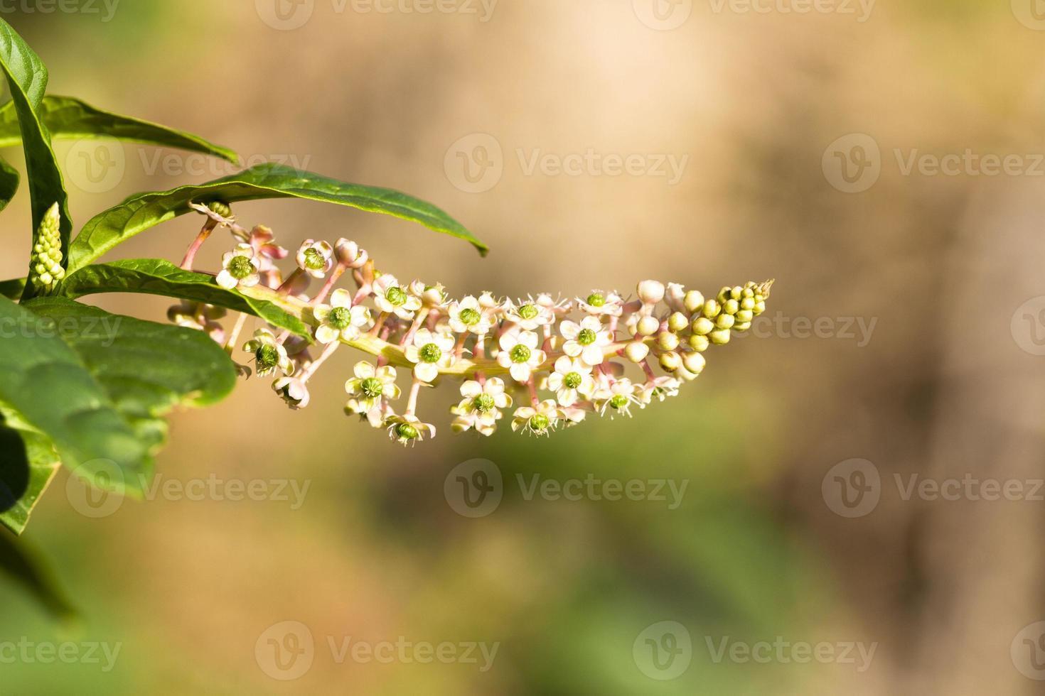 American Pokeweed (Phytolacca americana) photo