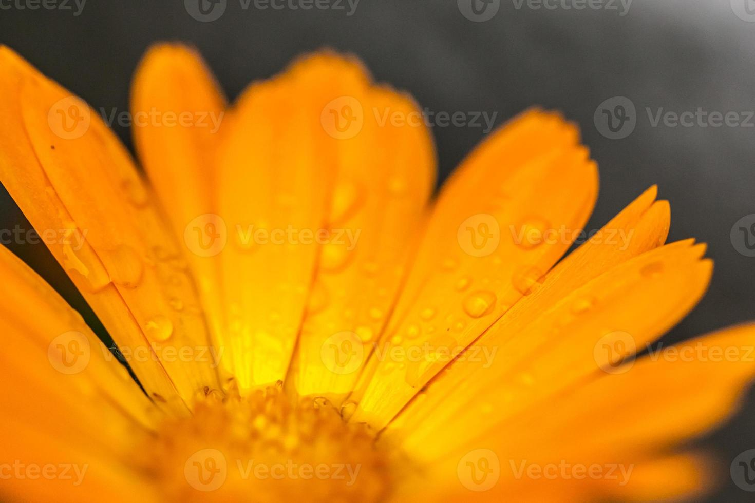 Close-up of calendula flower with dew drops photo