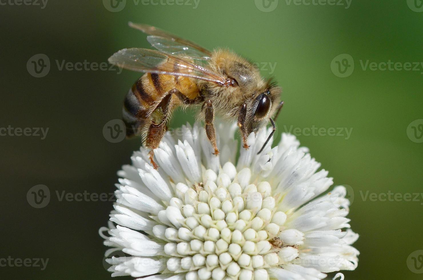 miel de abeja en flor foto