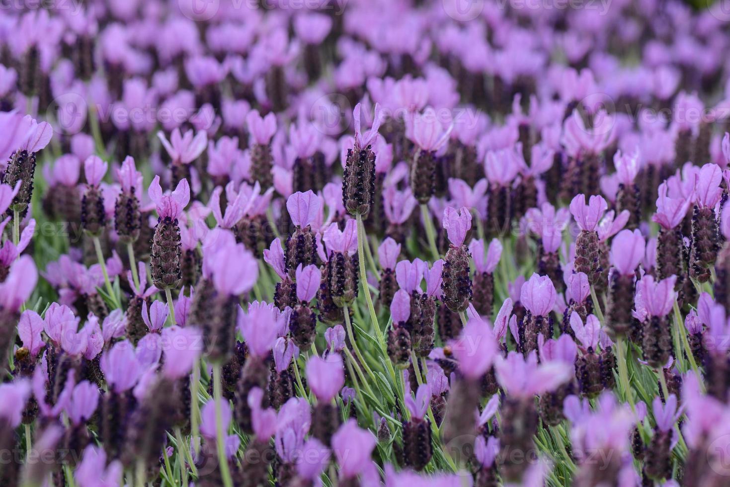 fondo de flor de lavanda española púrpura foto