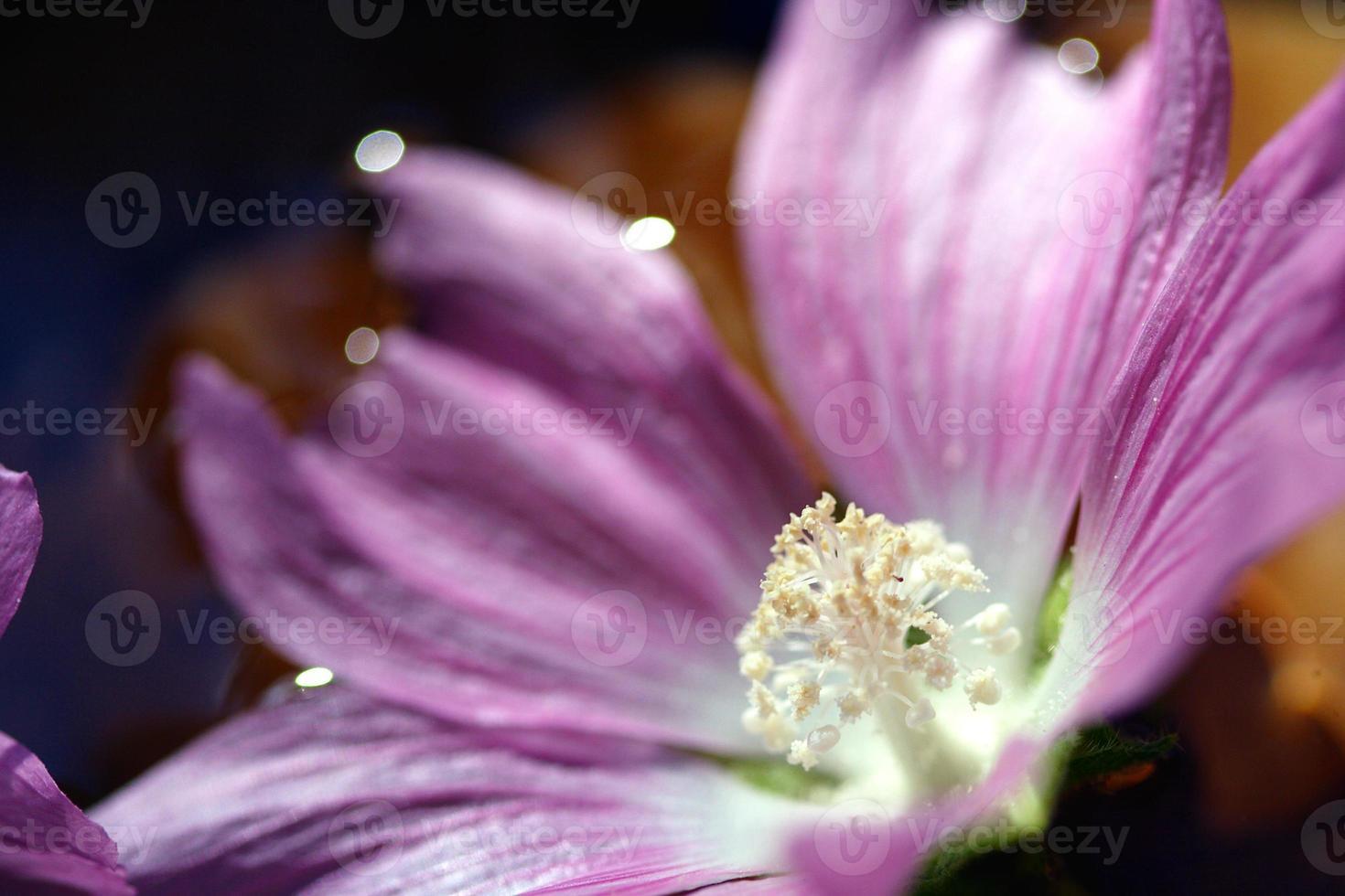 Flowers, Rose Prodigy photo