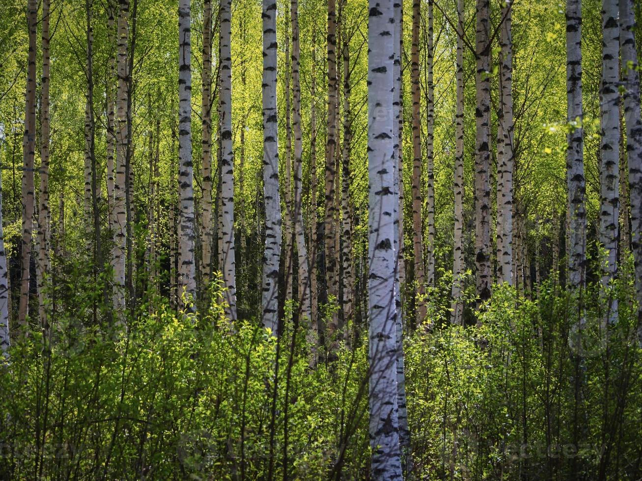 Trees in the Springtime Forest. photo