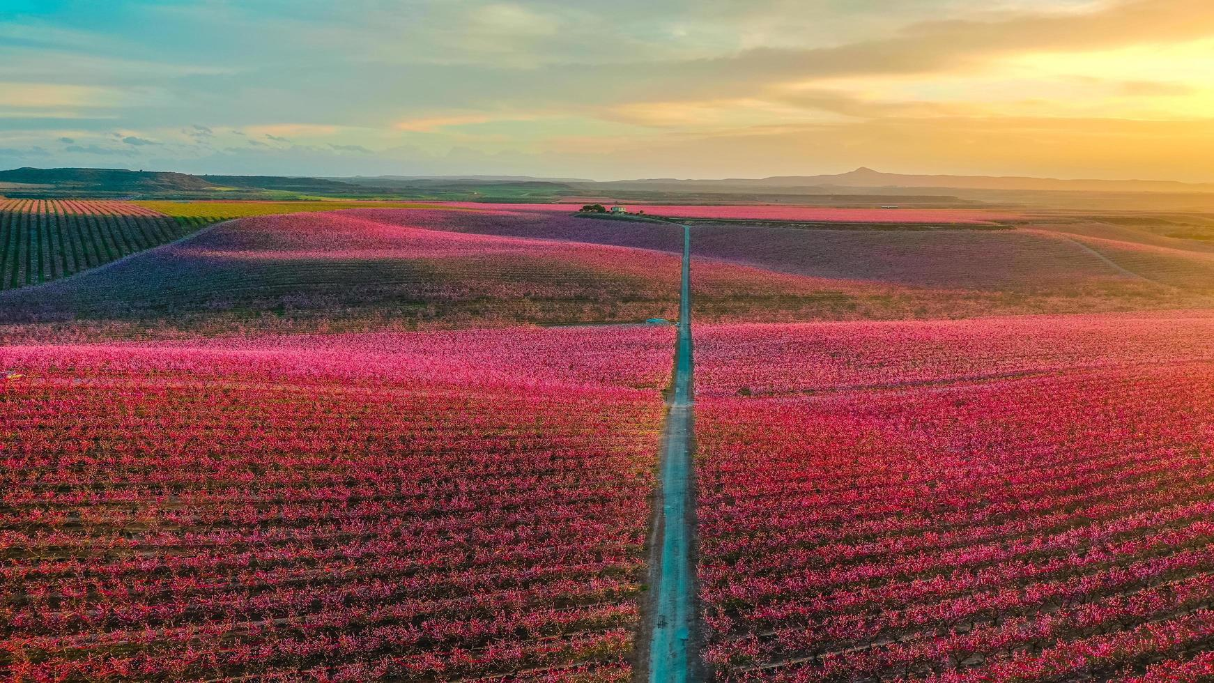 Red flower field at sunset photo
