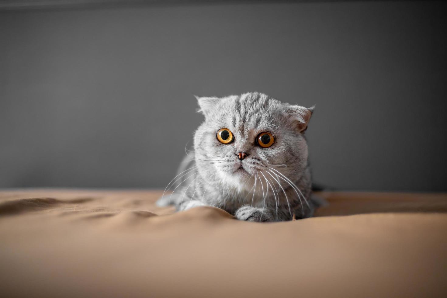 Scottish Fold cat  photo