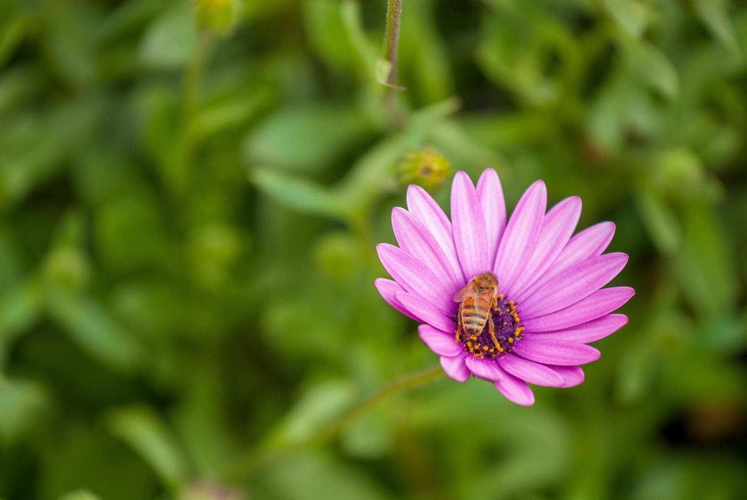 abeja en una flor rosa foto