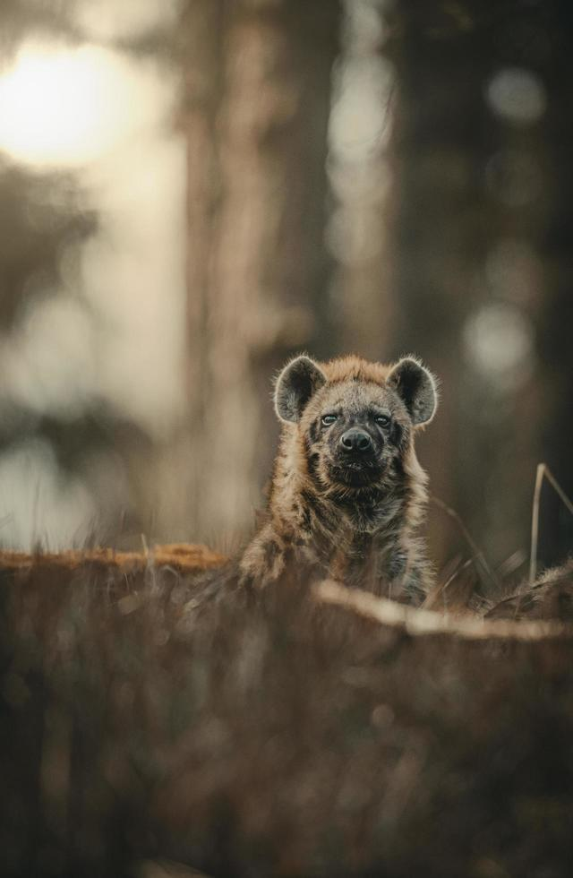 Hyena in a forest photo