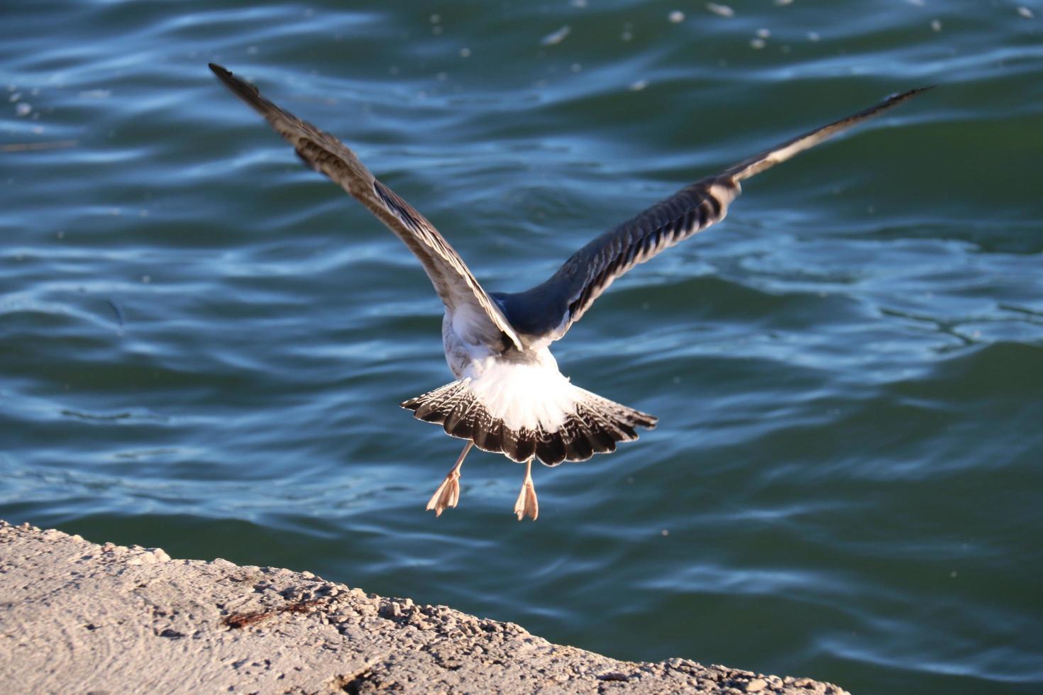 Seagull taking flight photo