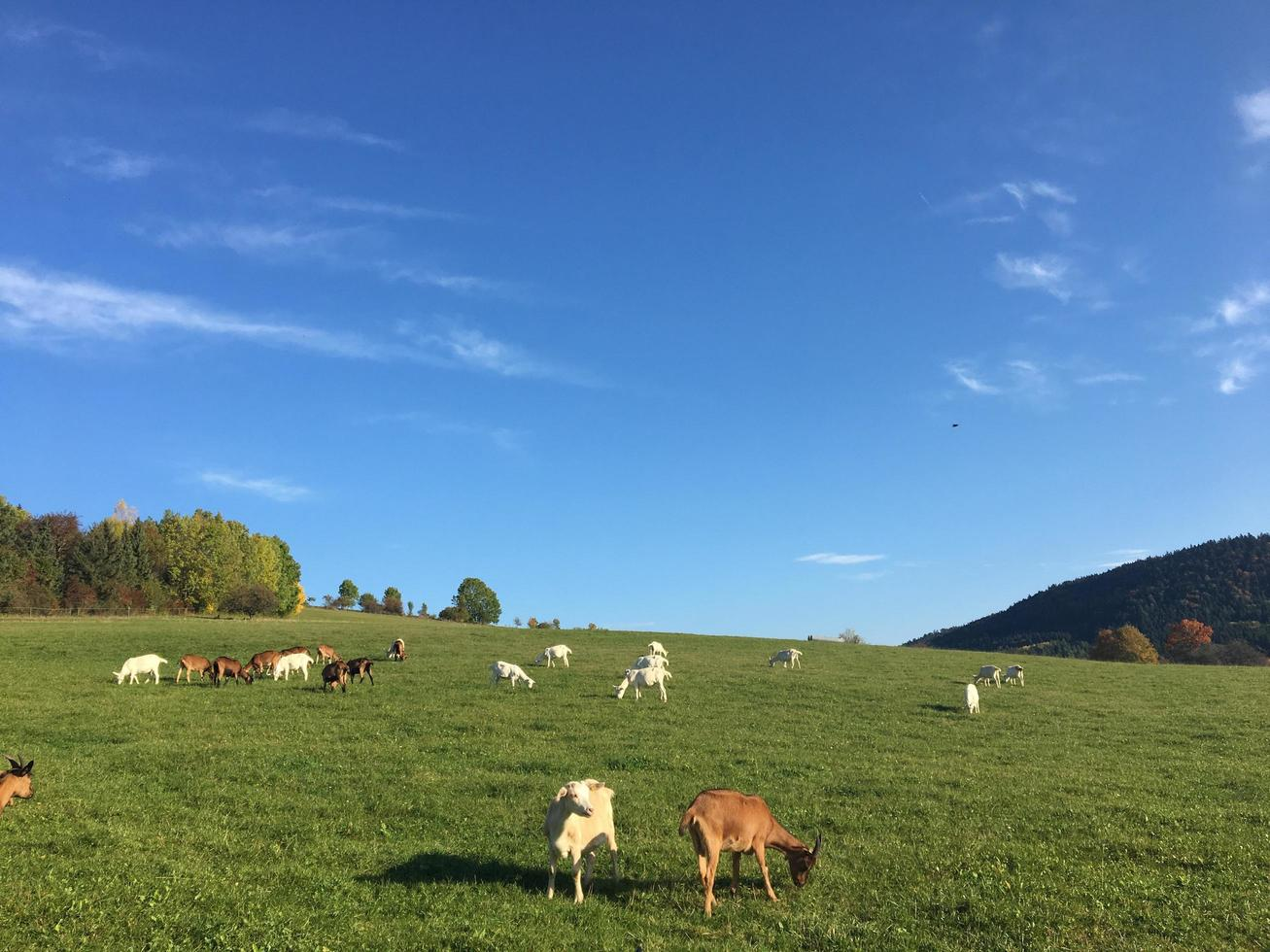 Goats on the field photo