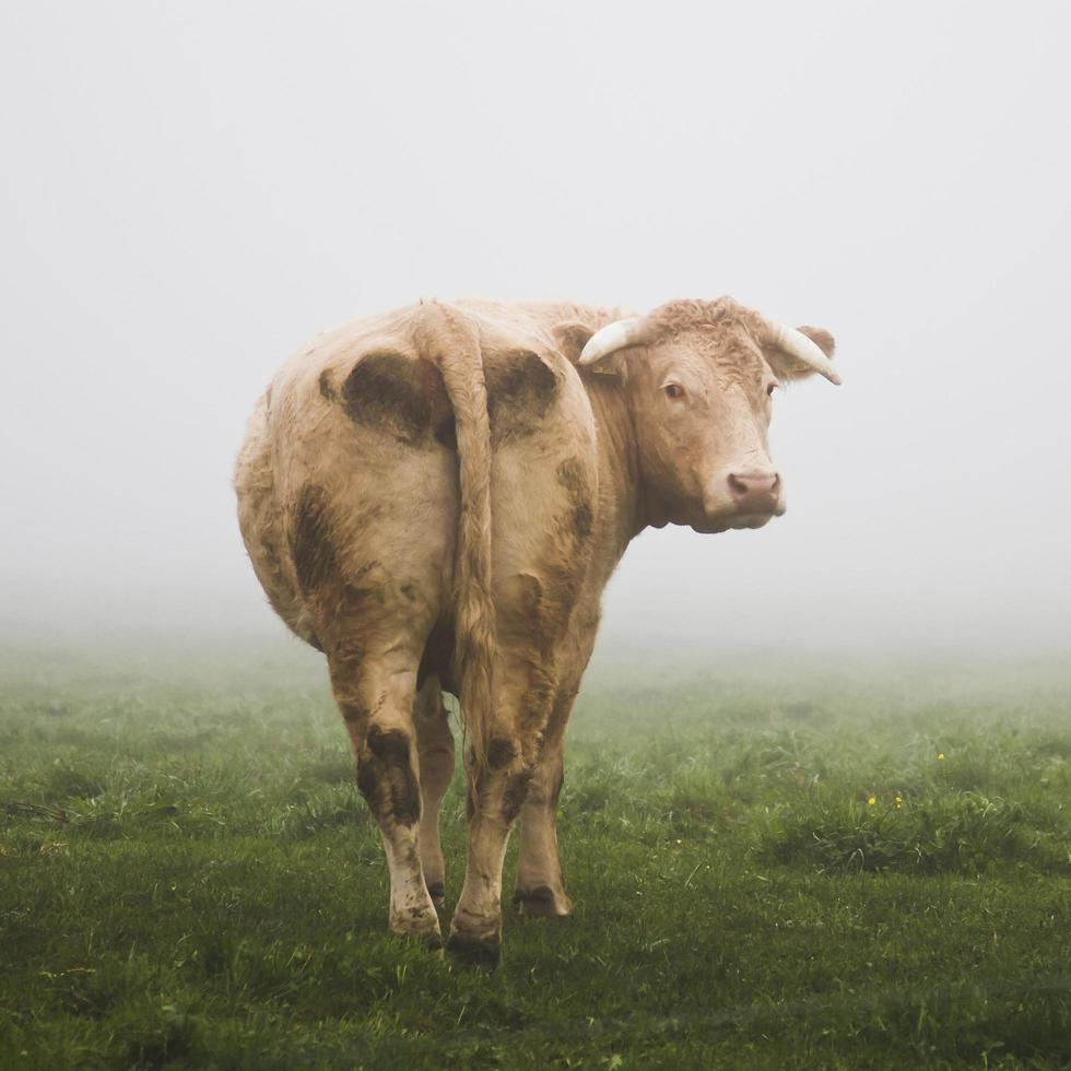 Cow in mist photo