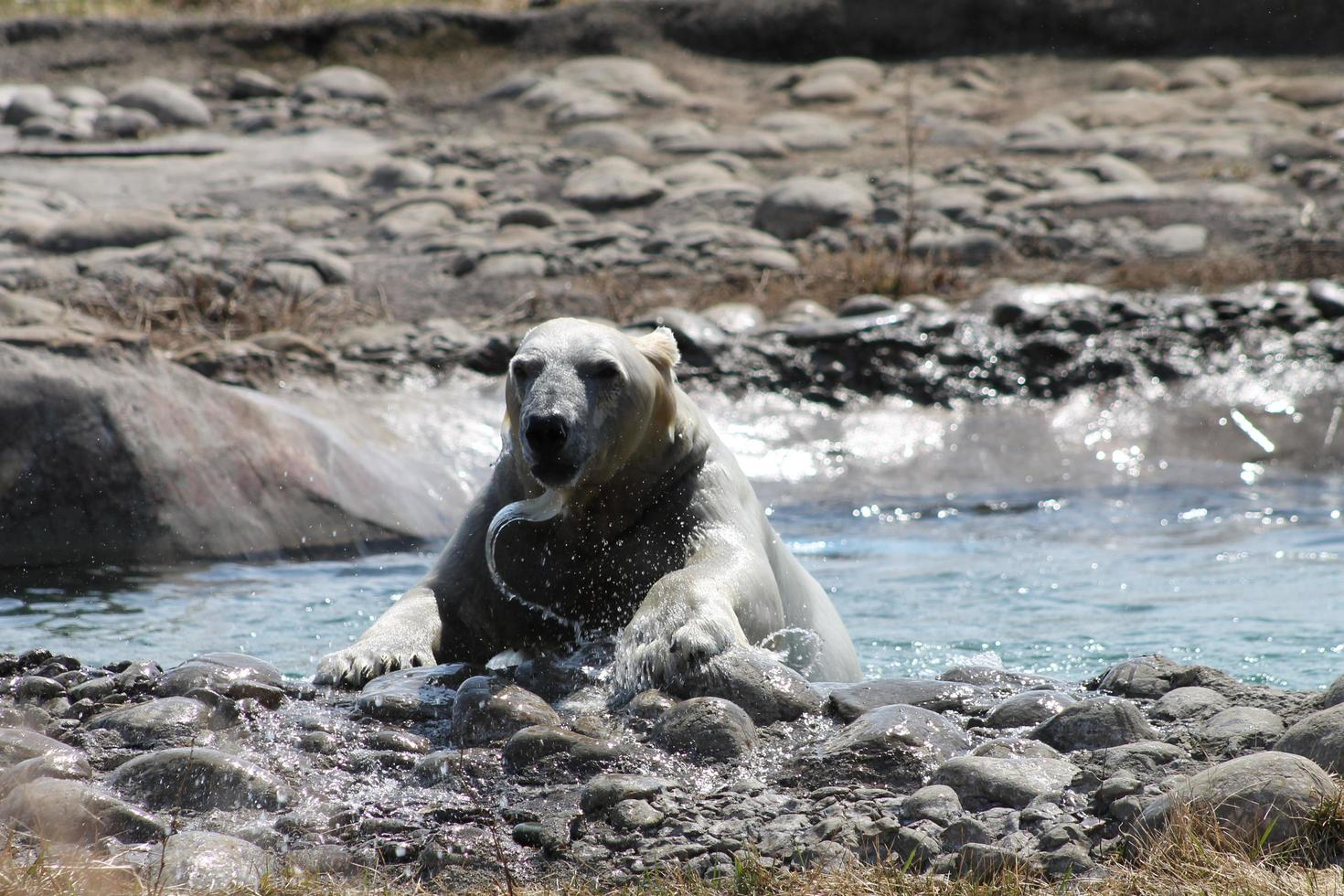 Polar bear swimming in the water photo