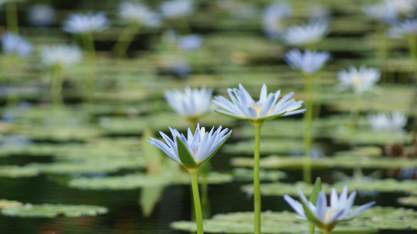 View of a lily pond with blue flowers photo