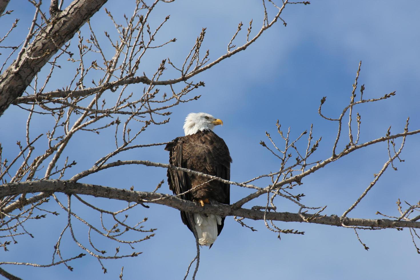 Bald eagle perched on a tree photo